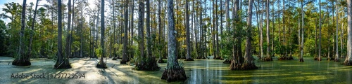 panoramic photo of bald cypress swamp Wallpaper Mural