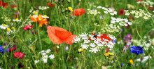 Beautiful Field Of Wild Flowers Including Poppies And Corn Flowers.
