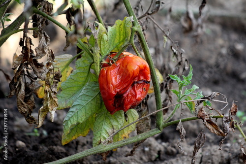 Large red partially dried and shriveled tomato left on plant in local urban gard Canvas-taulu