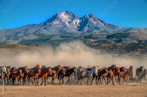 wild horses running in the plain Canvas Print