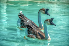 Chinese Goose Floating In Blue...