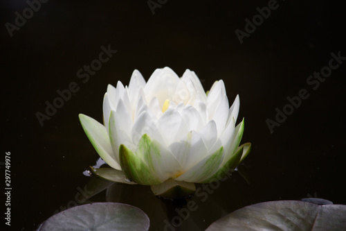 Fototapeta White Water Lily floating in a pond with a dark,  artistic background. Nymphaeaceae /ˌnɪmfiːˈeɪsiː/ is a family of flowering plants, commonly called water lilies.   obraz na płótnie