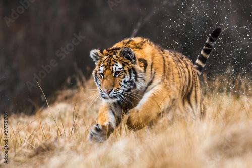 Naklejki tygrys   tygrys-syberyjski-w-sniegu