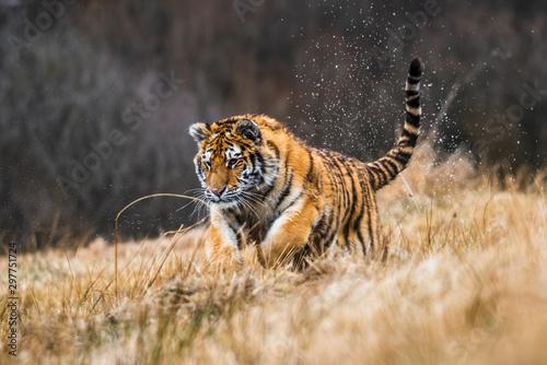 Siberian Tiger running in snow Wallpaper Mural
