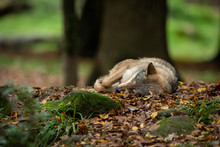 Grey Wolf Sleeping In The Forest