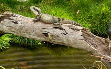 Eastern Water Dragon Australia