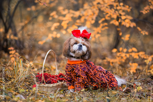 Leinwand Poster  Shih tzu dog for a walk in the autumn forest