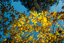 Autumn Leaves Of Mulberry Tree And Green Pines Against The Blue Sky. Bright Fall In The Autumn Park On A Sunny Day