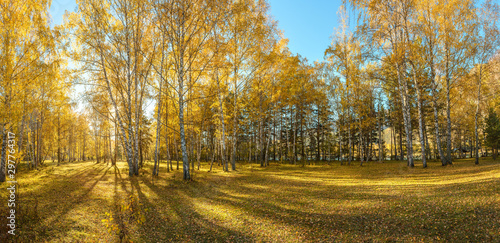 Birch golden forest at the autumn. Panorama