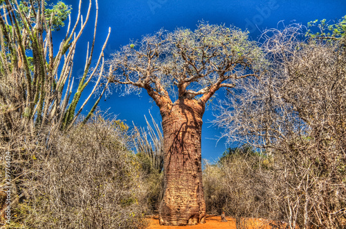 Obraz na płótnie Landscape with Adansonia rubrostipa aka fony baobab tree in Reniala reserve , To