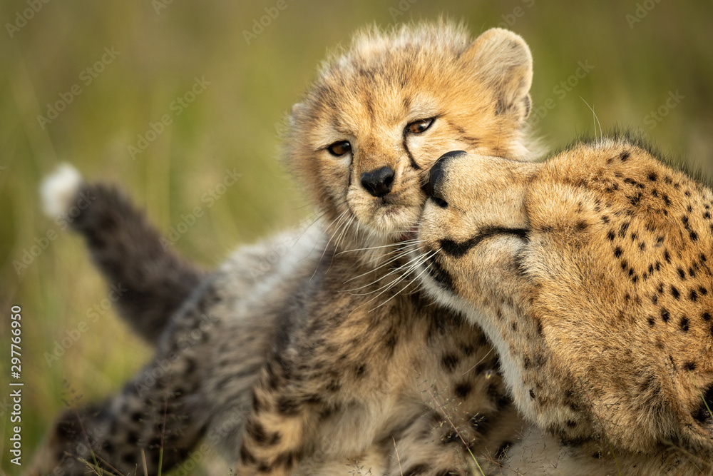 Fototapeta Close-up of female cheetah nuzzling young cub
