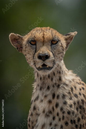 Close-up of female cheetah sitting eyeing camera Canvas Print