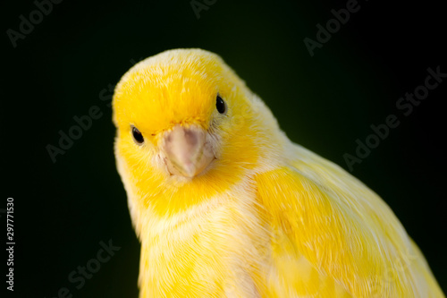 Beautiful portrait of a yellow canary Obraz na płótnie
