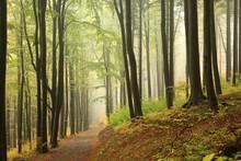 A Trail Among Beech Trees Thro...