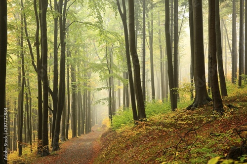 A trail among beech trees through an autumn forest in a misty rainy weather Wallpaper Mural