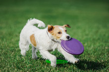 Parson Russell Terrier Catching Flying Disk