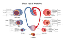 Circulatory System. Blood Vessels Anatomy With Description Of The Main Parts Of Aorta, Elastic Artery, Muscular Artery, Arterioles, Capillaries, Venules And Veins. Vector Illustration.