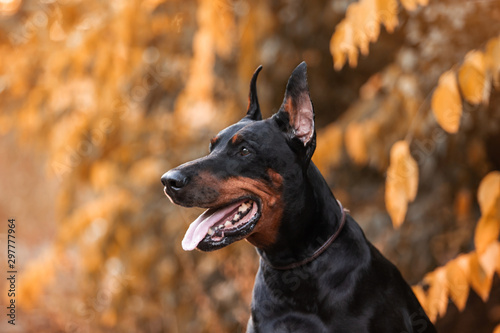 Papel de parede doberman dog autumn portrait
