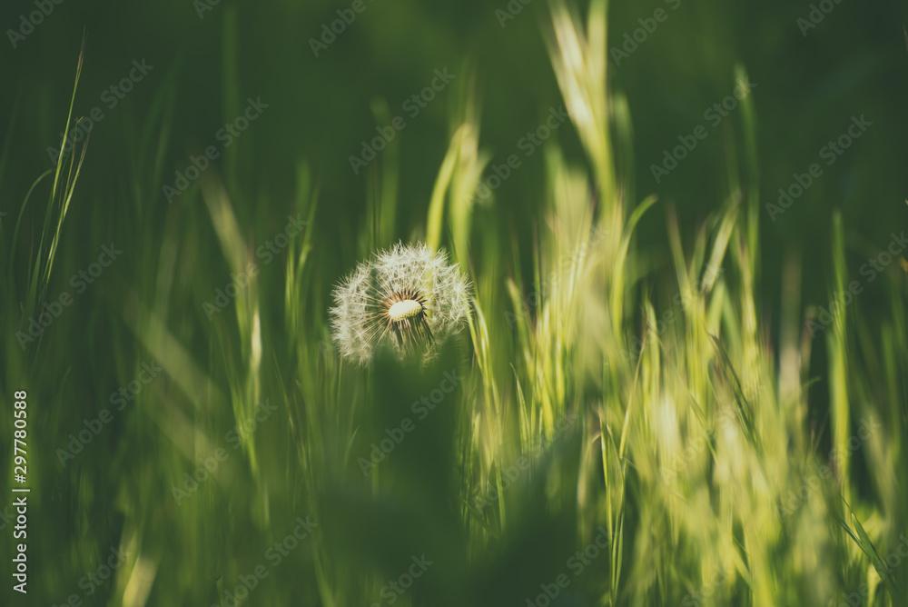 Fototapety, obrazy: Dandelion white flower