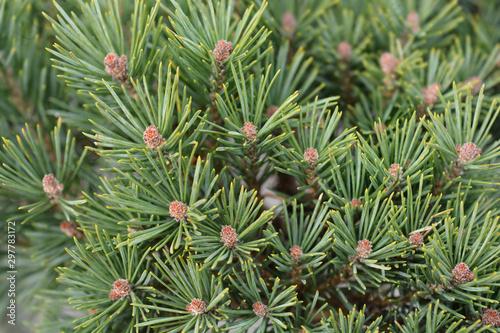 Valokuvatapetti close up of Walter pine