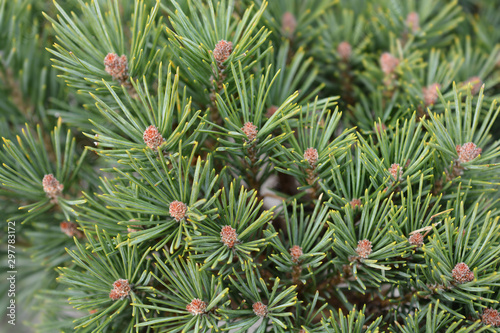 Obraz na plátne  close up of Walter pine