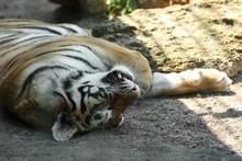 Amur Tiger Sleeping At Enclosure In Zoo