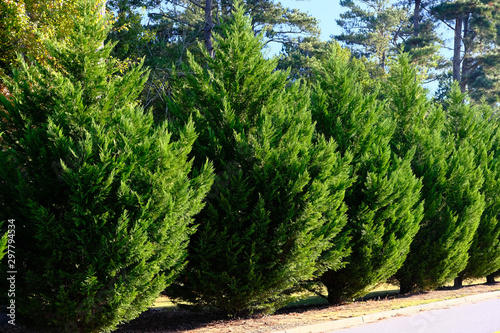 Leyland Cypress Trees in a Row along Road as hedge Canvas Print