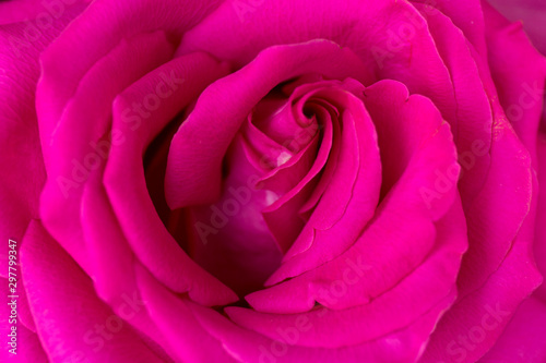 Foto auf Gartenposter Roses Soft floral dark pink abstract background. Macro flower. Pink rose.