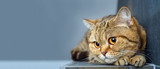 Fototapeta Cats - Bengal cat with space for advertizing and text