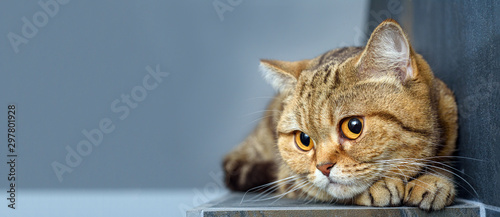 Fototapeta Bengal cat with space for advertizing and text obraz