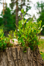 Young Sprouts Of A Tree On An Old Stump