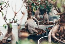 Microcarpa Ficus Ginseng In Bo...