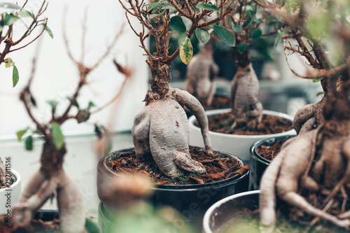 Microcarpa ficus ginseng in bonsai tree style. A lot of little house plant in flowerpot. Concept of natural house decor.