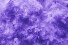 Beautiful Abstract Pink And Purple Feathers On Darkness Background And Colorful Soft White Blue Feather Texture Pattern