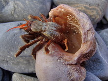 Hermit Crab (Paguroidea) On Th...