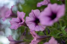 Purple Petunia Flowers Close-up 2