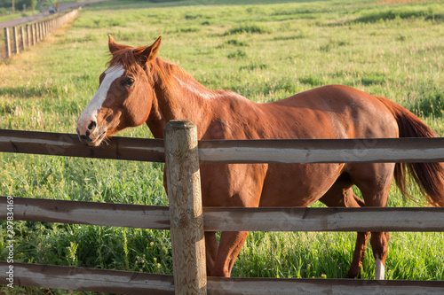 A beautiful, strong brown horse on a ranch.