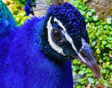 Close Up Of Bright Blue Bird With White Stripe Around Eye