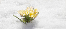 Crocuses Yellow Blossom On A Spring Sunny Day In The Open Air. Beautiful Primroses Against A Background Of Brilliant White Snow.