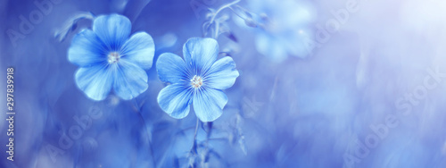 Poster Spring Beautiful border with flax flowers on an abstract blue background. Spring floral background. Selective focus