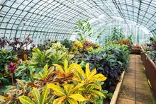 Garden Croton Flower Codiaeum Croton Variegatum Exotic Plant In Large Garden Greenhouse