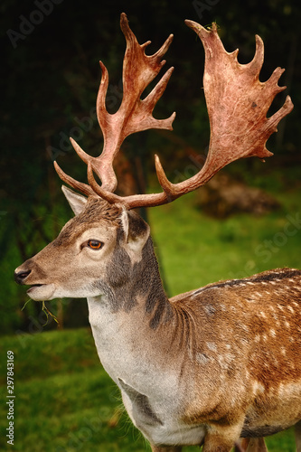 Photo Portrait of Deer