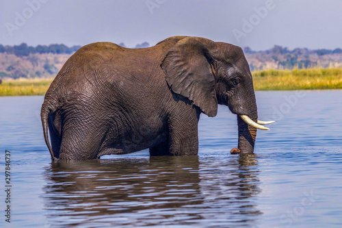 African elephant in water in Botswana