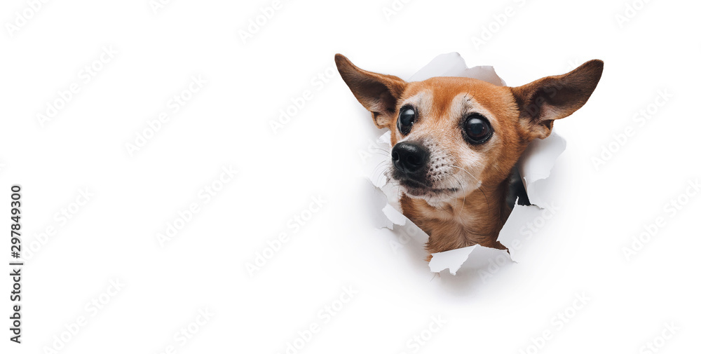 Fototapeta Bug-eyed muzzle. The head of old dog through a hole on a white torn paper background. Russian Toy Terrier. Horizontal studio image, copy space. Concept of spy, curiosity and snoop.
