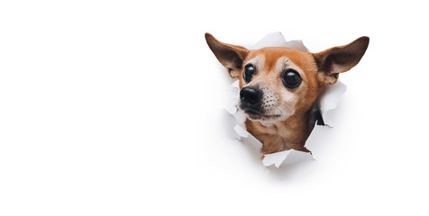 Bug-eyed muzzle. The head of old dog through a hole on a white torn paper background. Russian Toy Terrier. Horizontal studio image, copy space. Concept of spy, curiosity and snoop.
