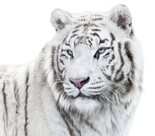 Magnificent White Tiger Looking Back