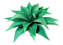 3D Rendering Agave Plant On Wh...