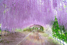 The Great Wisteria Flower Arch. Wisteria Tunnel At Kawachi Fuji Garden (Fukuoka, Japan)