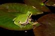 Europäischer Laubfrosch (Hyla arborea) auf einer Seerose - European tree frog