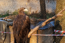 Brown Eagle Sits On A Tree Bra...